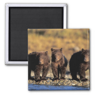 Grizzly bear, brown bear, cubs, Katmai National Magnet