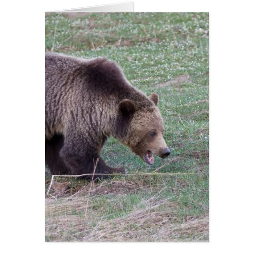 Grizzly bear cards