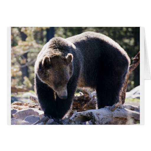 Grizzly Bear Greeting Cards