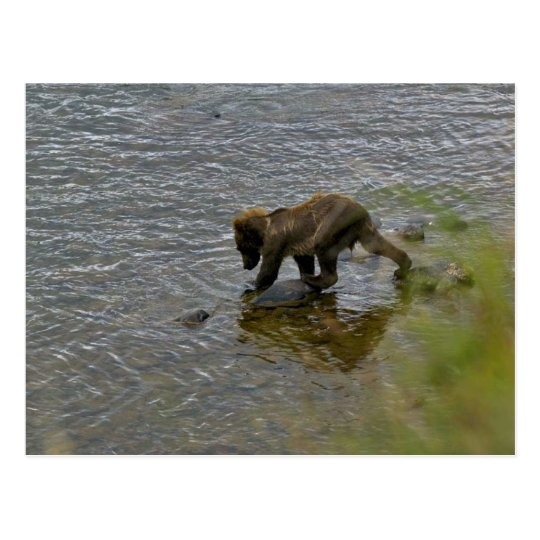 Grizzly bear cubs postcard