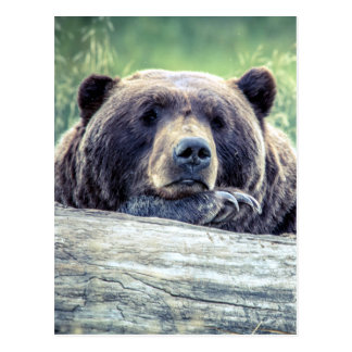 Grizzly Bear Design Postcard