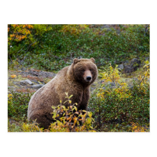 Grizzly Bear in Alaska Postcard