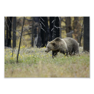 Grizzly Bear in Field Poster
