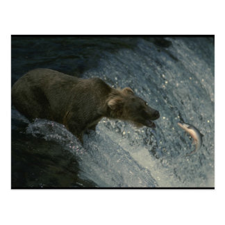 Grizzly Bear  Picture-Fishing for Salmon Postcard