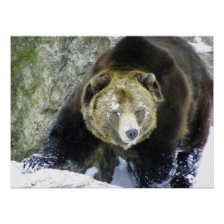 Grizzly Bear Portrait In Snow Poster