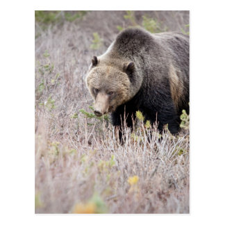 Grizzly Bear Post Cards