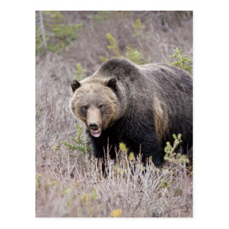 Grizzly Bear Postcard