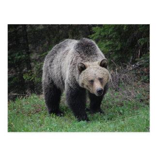 Grizzly Bear Postcard