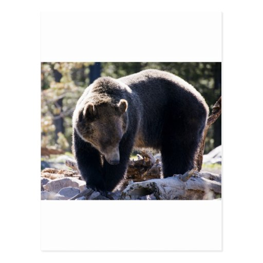 Grizzly Bear Post Card