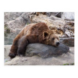 Grizzly Bear Resting On Rock Post Card