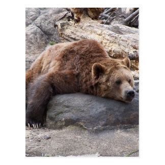 Grizzly Bear Resting On Rock Postcard