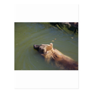 Grizzly Bear Swimming Postcard