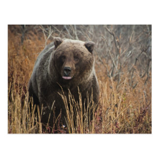 Grizzly Bear with Blueberry Lips Postcard