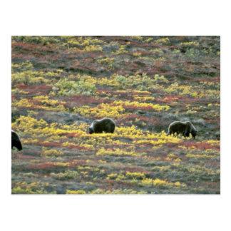 Grizzly bears, Denali National Park, Alaska Red fl Postcard