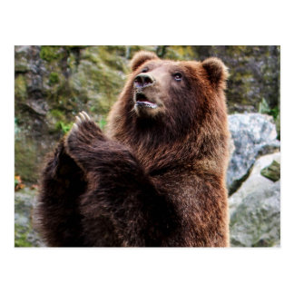 Grizzly Brown Bear Wildlife Photo Postcards