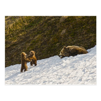 Grizzly Family Postcard