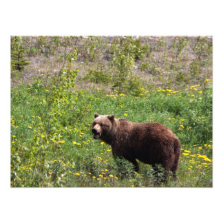 Grizzly in the Dandelions Photo Print