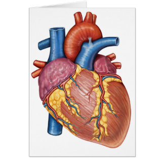 Gross Anatomy Of The Human Heart Card