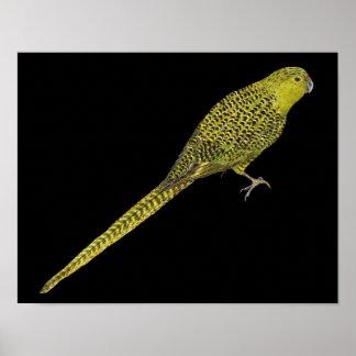 Ground Parrot - Pezoporus wallicus Posters