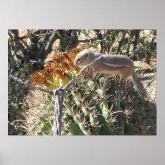 Ground Squirrel on Barrel Cactus Poster