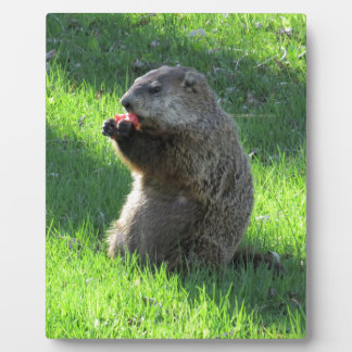 Groundhog eating plaque