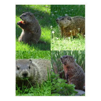 Groundhog Medley Postcard