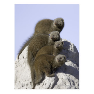 Group of Dwarf Mongoose on a Termite Mound in Postcard