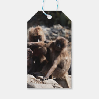 Group of gelada baboons (Theropithecus gelada) Gift Tags