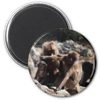 Group of gelada baboons (Theropithecus gelada) Magnet