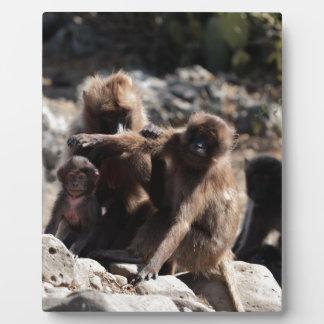 Group of gelada baboons (Theropithecus gelada) Plaque