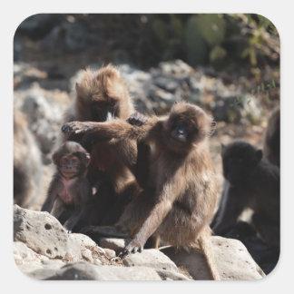 Group of gelada baboons (Theropithecus gelada) Square Sticker