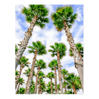 Group of high straight palm trees postcard