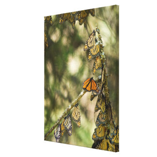Group of Monarch Butterfies, Mexico Canvas Print