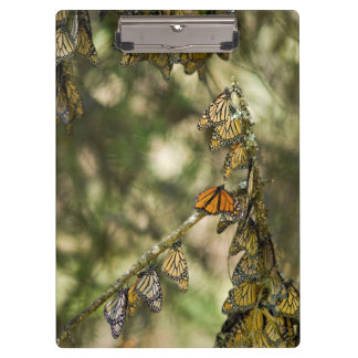 Group of Monarch Butterfies, Mexico Clipboard