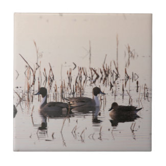 Group of Pintail Ducks Gather and Swims in a lake Tile