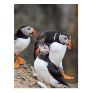 Group of Puffins Postcard