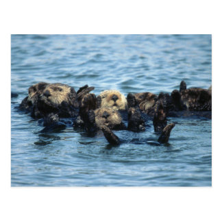 Group of Sea Otters Postcard