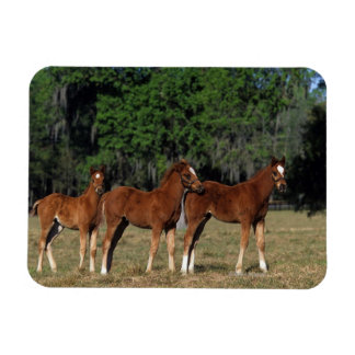 Group of Thoroughbred Foals Rectangular Photo Magnet