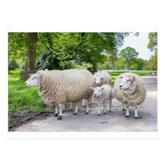 Group of white sheep and lamb on road in nature postcard