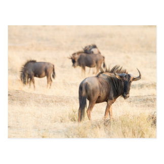 Group of wildebeest postcard