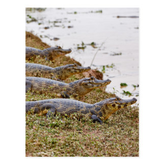 group of yacare caimans postcard