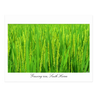 Growing rice - South Korea Postcard