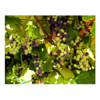 Growing Wine Postcard