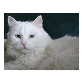 Grumpy white cat postcard