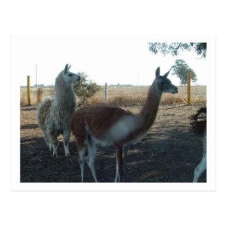 guanaco and llama postcard
