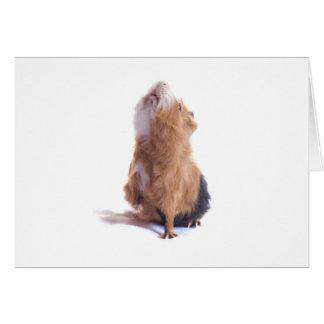 guinea pig, card