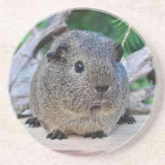 Guinea Pig Drink Coasters