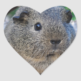 Guinea Pig Heart Sticker