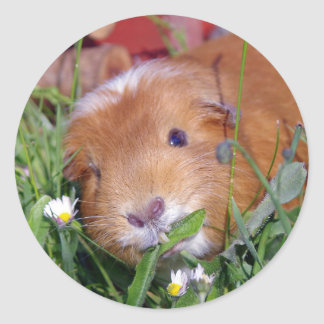 guinea pig in the meadow classic round sticker