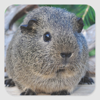 Guinea Pig Square Sticker